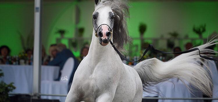 Arabian Horse Festival